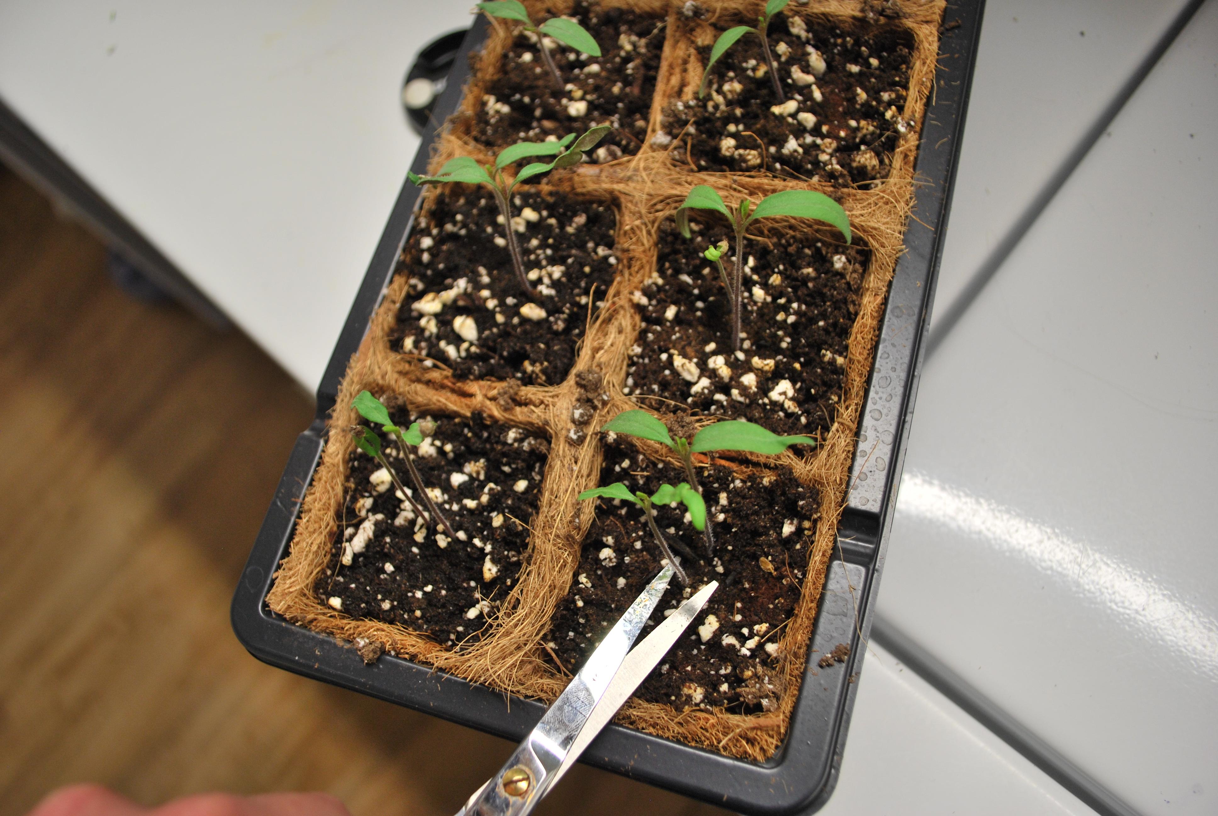 éclaircir semis
