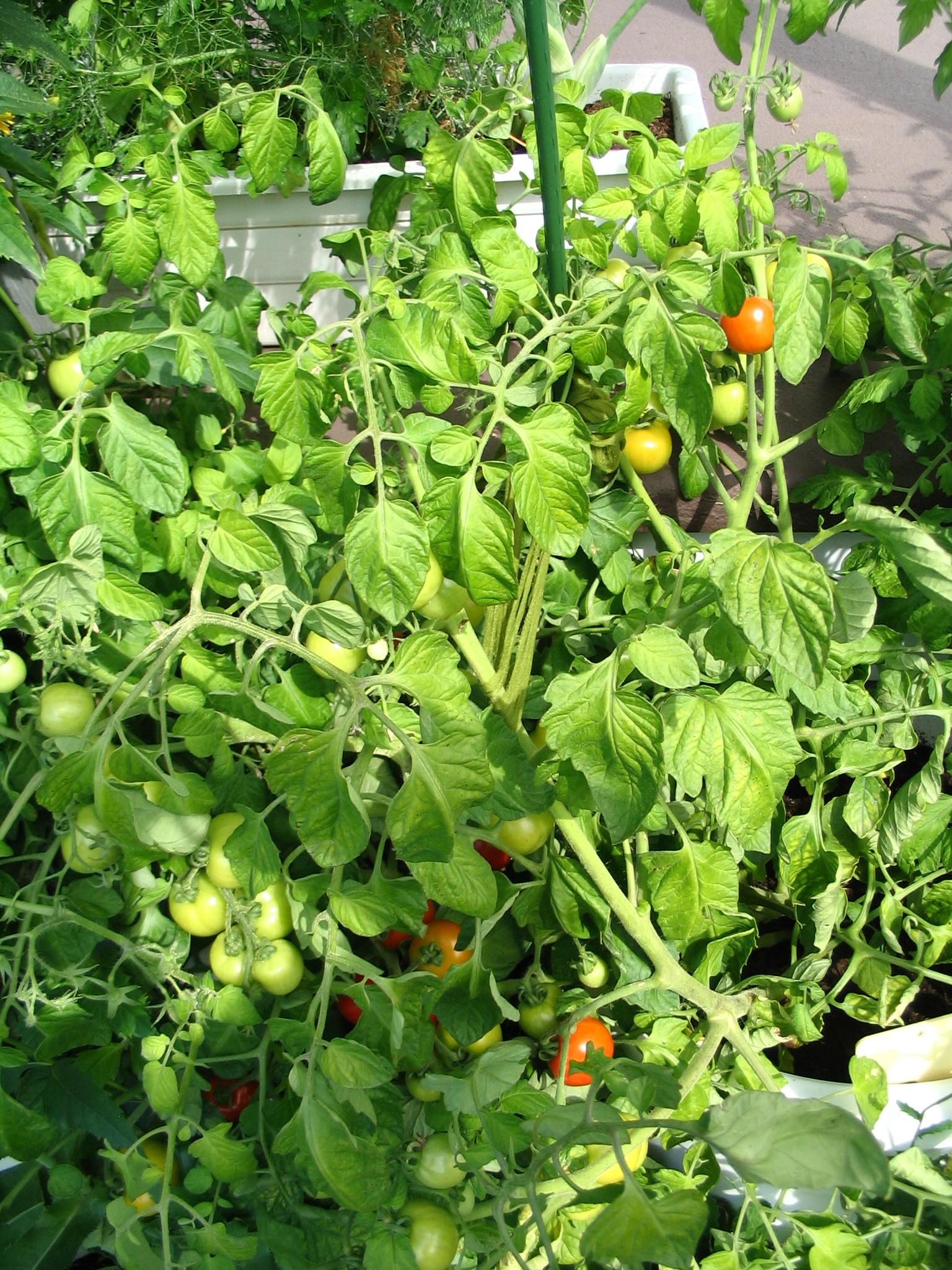 tomate en pot